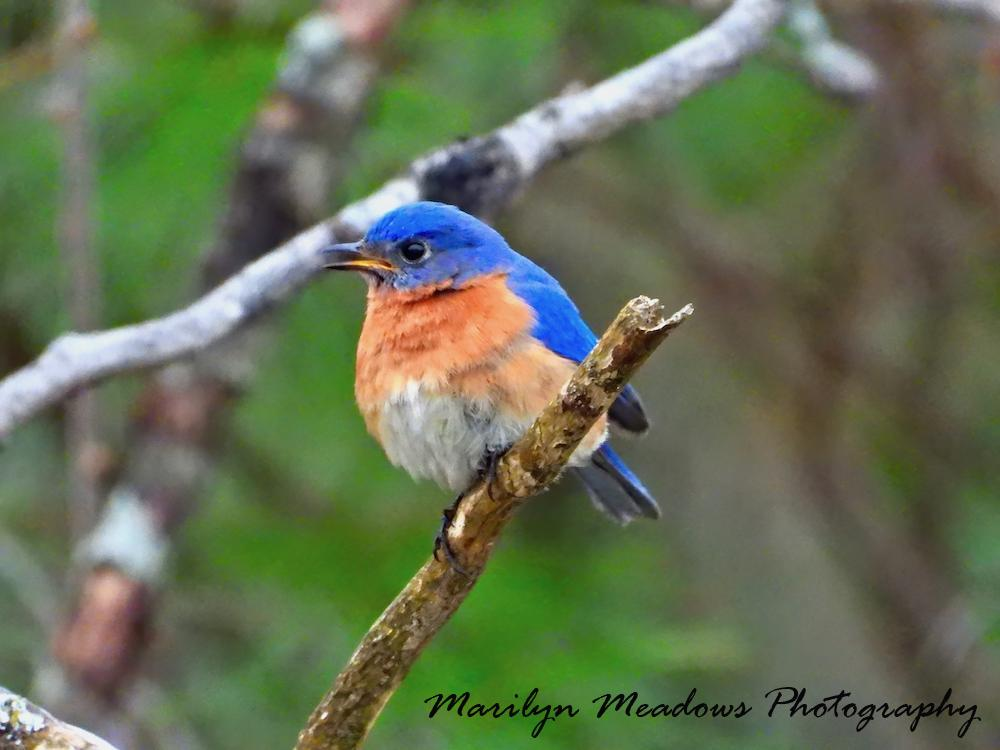 Birds, Bluebirds, Eastern Bluebirds